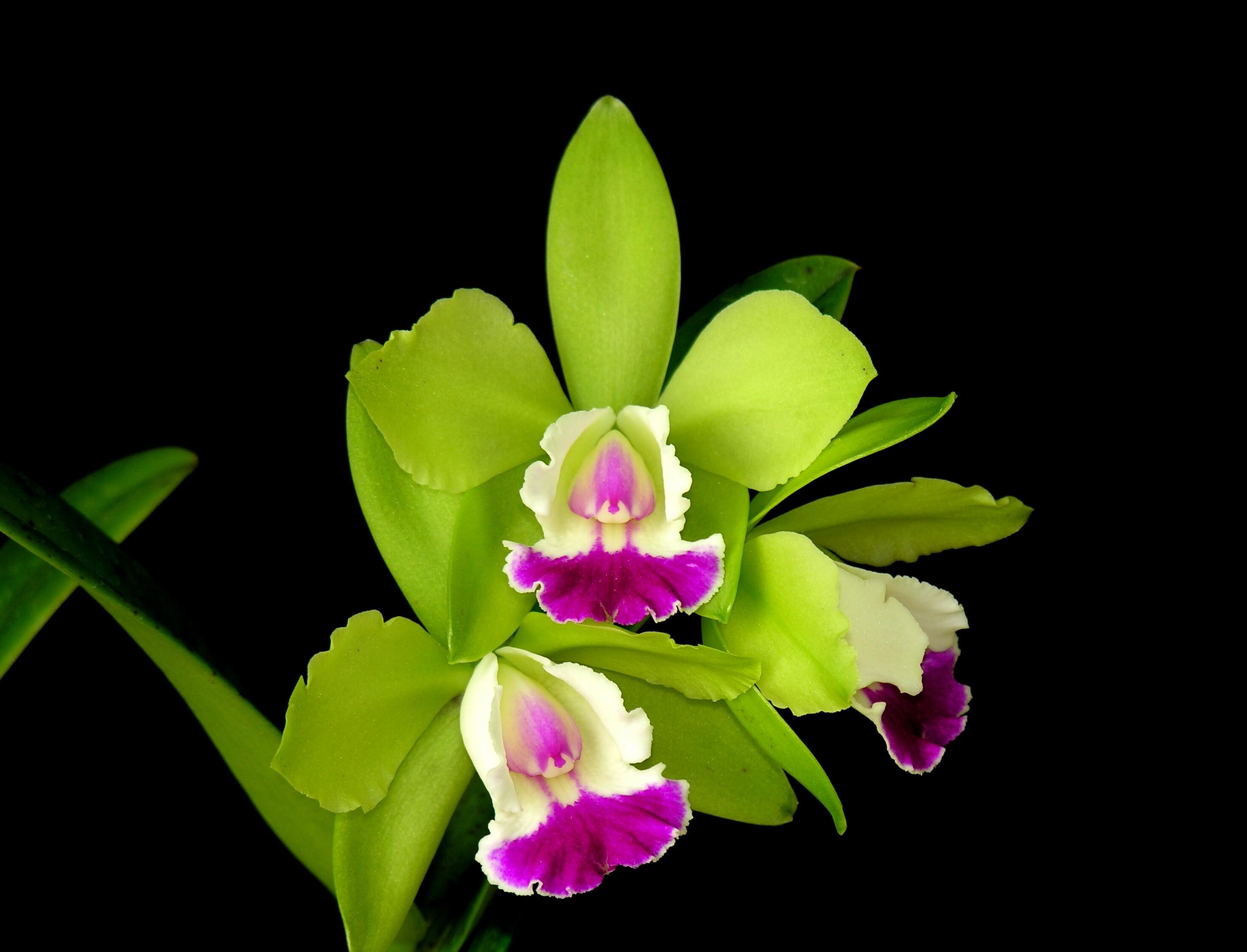 photo  green pink mini, Beautiful flower